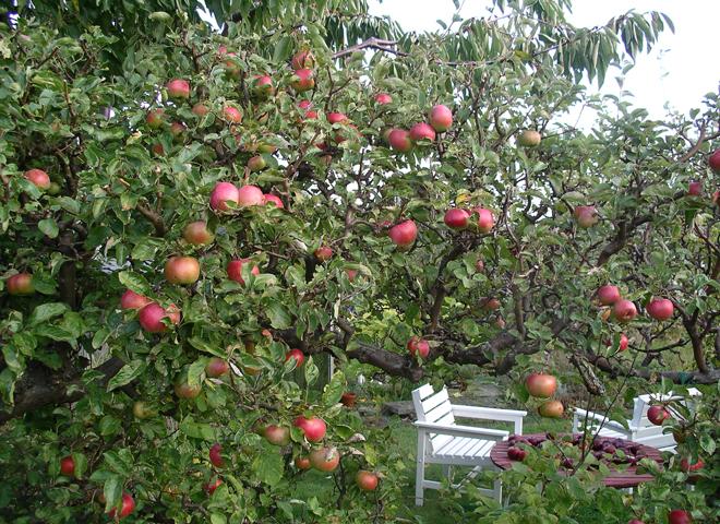 Äpplen_okt2009