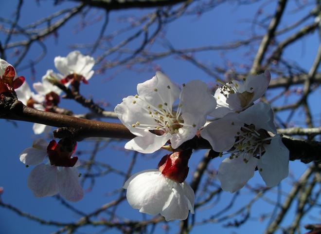 aprikosblommor-17-april-2009