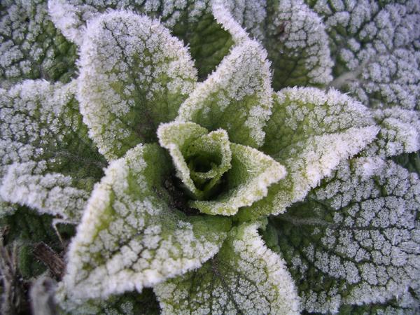 fingerborgsblomma-och-frost-2-april-2009