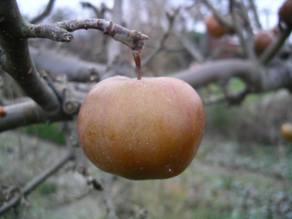 fruset_apple_jan2009