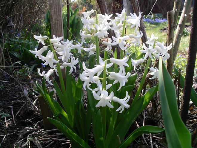 hyacinter-12-april-2009