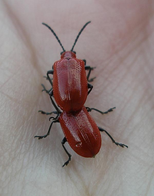 liljebaggar_9-april-2009