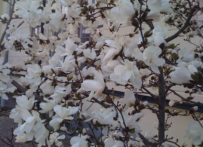 magnolior-april-2009